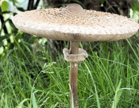Kanie - grzybowa odmiana schabowego