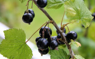 Czarna porzeczka - wielka moc ma�ych owoc�w
