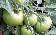 Sa�atka z zielonych pomidor�w